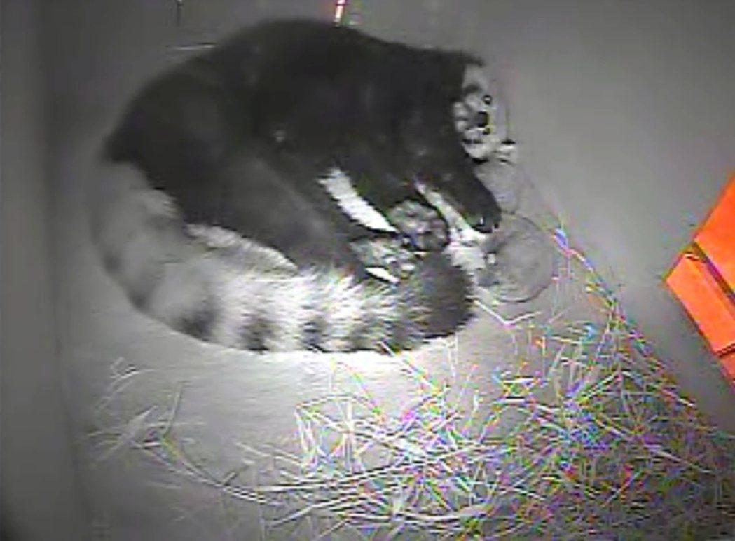 根據監視器影像顯示,小貓熊「美可」是一位稱職的媽媽,與兩隻幼仔一起休息。圖/動物...