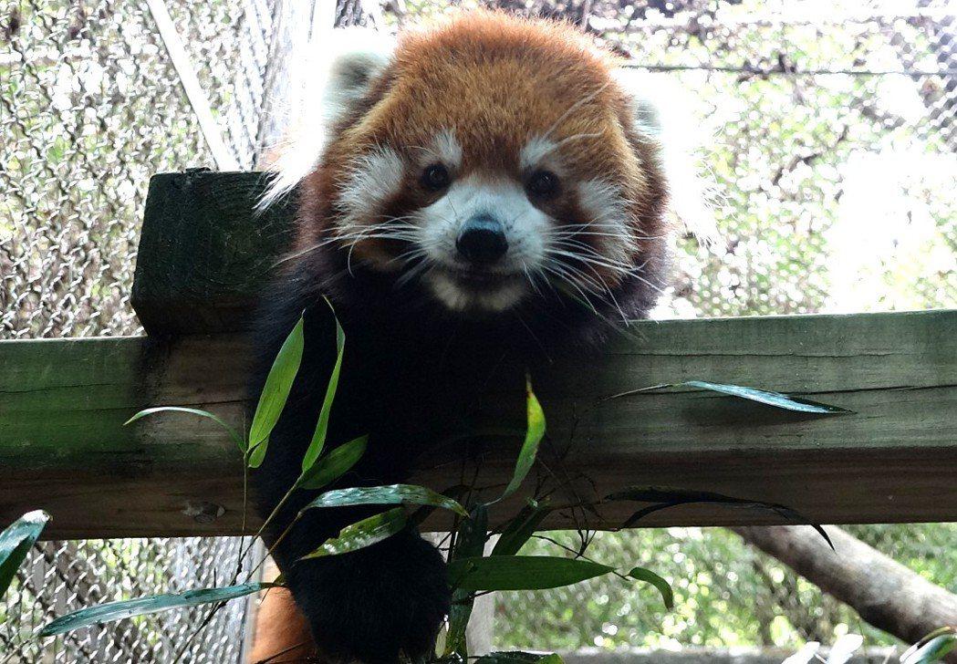 小貓熊爸爸「歡歡」模樣可愛。圖/動物園提供