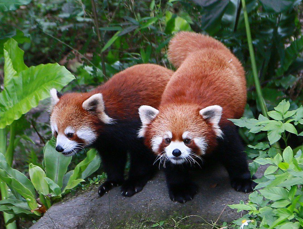 小貓熊「奇奇」和「妙妙」兩隻都是公的,也是雙胞胎。圖/動物園提供