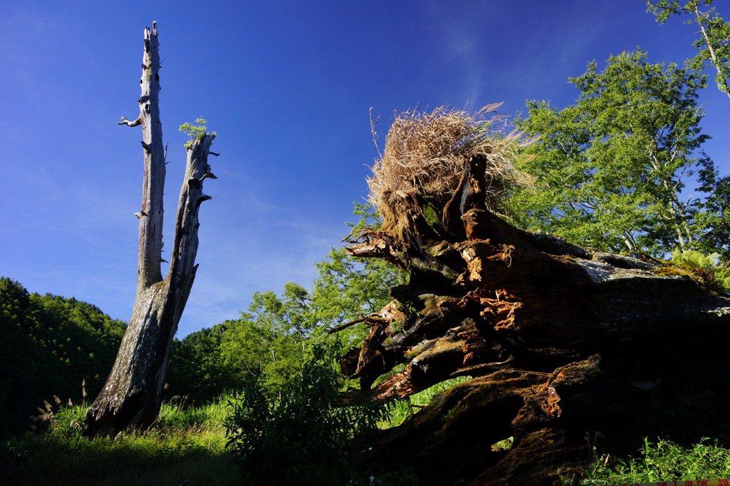塔塔加夫妻樹疑似因為6月以來大雨不斷,夫樹前晚轟然倒塌,留下妻樹孤單兀立。 圖/...