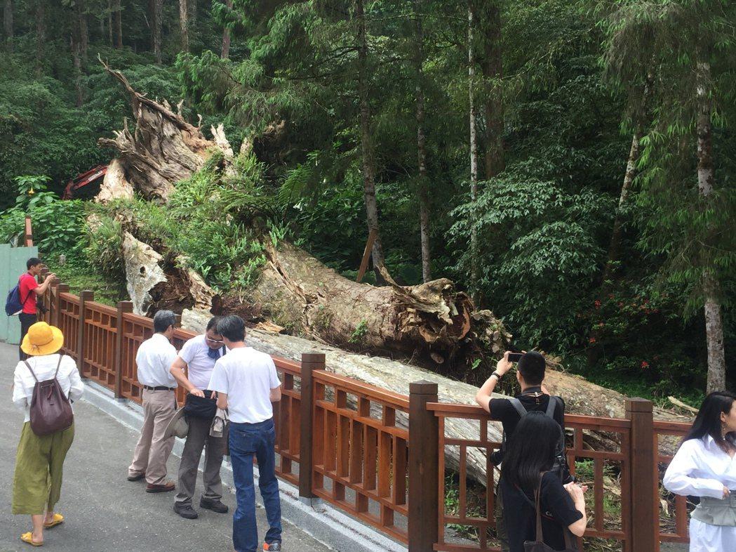 溪頭神木去年倒塌後,台大實驗林設置圍欄,以殘木展示的方式,讓神木以另種姿態,呈現...
