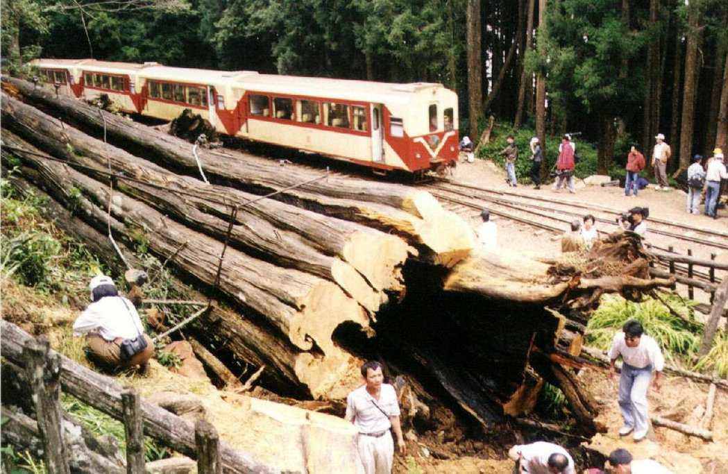 阿里山神木倒塌後,也是採自然放倒的方式,讓殘木留在現場展示。 圖/報系資料照