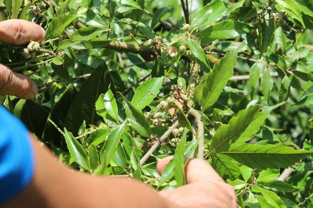 賴金田長年來在自家土地上種了20種殼斗科植物,再取其種子育苗。 記者李蕙君/攝影