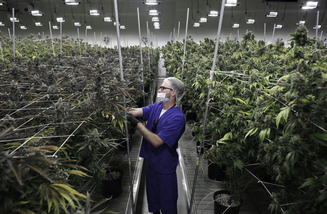 拉斯維加斯一處大麻種植場。 美聯社