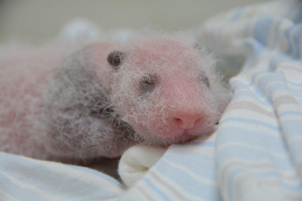 圓仔出生10天,耳朵上長出黑色被毛。 圖/台北市立動物園提供
