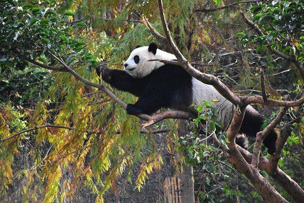 隨著圓仔長大,一般樹木已經「招架」不住。 圖/台北市立動物園提供