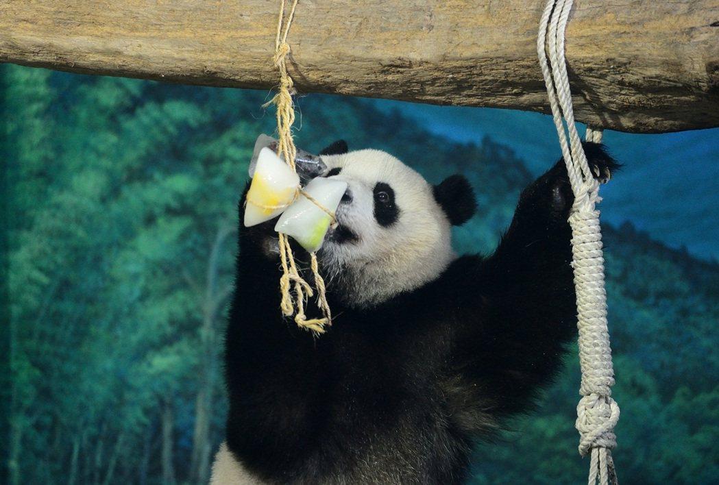 動物園有時候會準備不同食物讓圓仔有更多元的探索。 圖/台北市立動物園提供