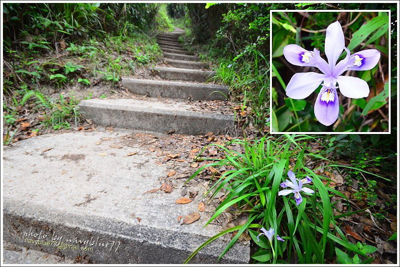 ↑在孖崗山前後很幸運的發現香港珍稀野花--小花鳶尾,大家再看到它千萬別摘採,留在...
