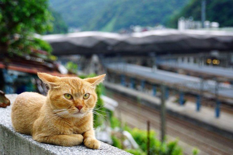 在這充滿感性的古味小城,被養得胖胖的親人貓咪穿梭腳邊,確實吸引人。然而,少了貓的猴硐,還會吸引人嗎? 圖/聯合報系資料照