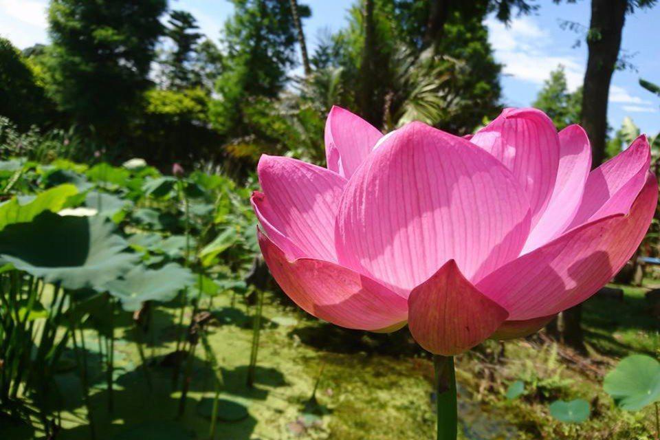 出淤泥而不染的美麗蓮花,綻放著優雅姿態。(圖片提供/桃園市政府觀光局)