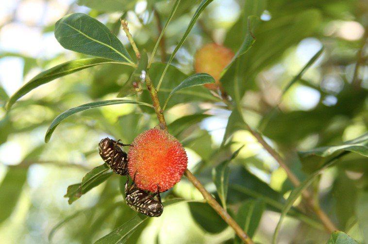 楊梅樹上酸甜新鮮楊梅,連金龜子昆蟲都喜愛。記者曾增勳/攝影
