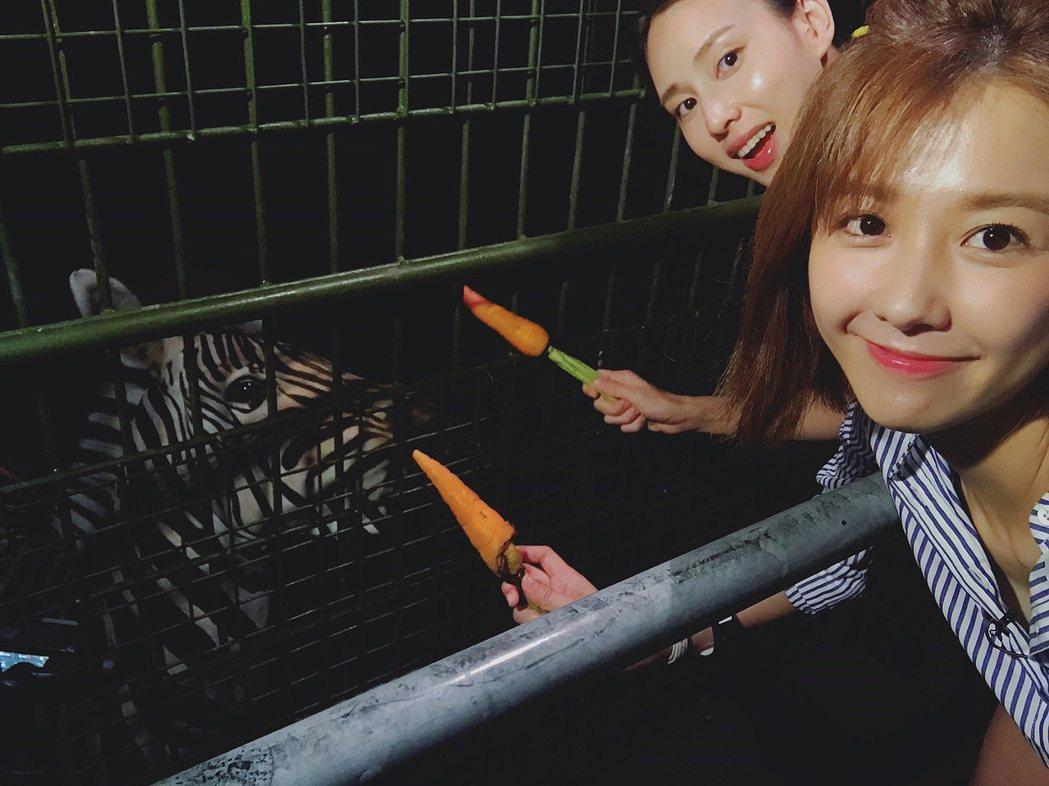 邵雨薇(右)與房思瑜搭「籠車」近距離餵斑馬吃紅蘿蔔圖/TVBS提供
