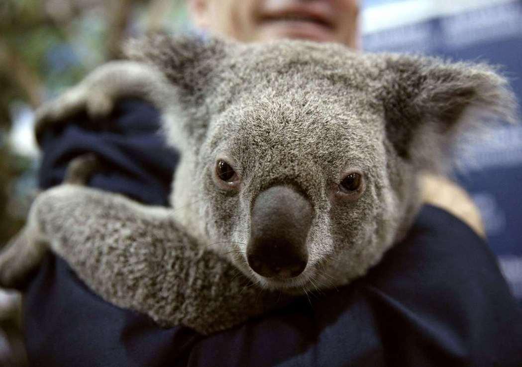 2014年的G20峰會,澳洲政府以無尾熊迎賓。圖/路透社