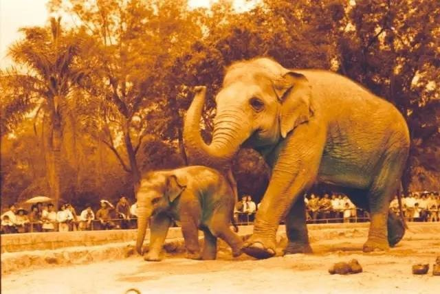 從越南送到中國大陸的雌性亞洲象「伊龍」,在廣州動物園與象寶寶散步資料照。圖/廣州...