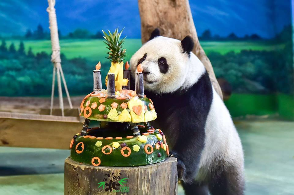 貓熊圓仔今天四歲囉。圖/台北市立動物園FACEBOOK