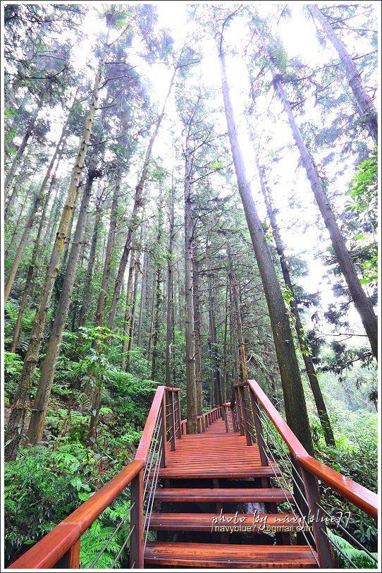 步道中有一段杉林,讓人錯覺來到溪頭了。