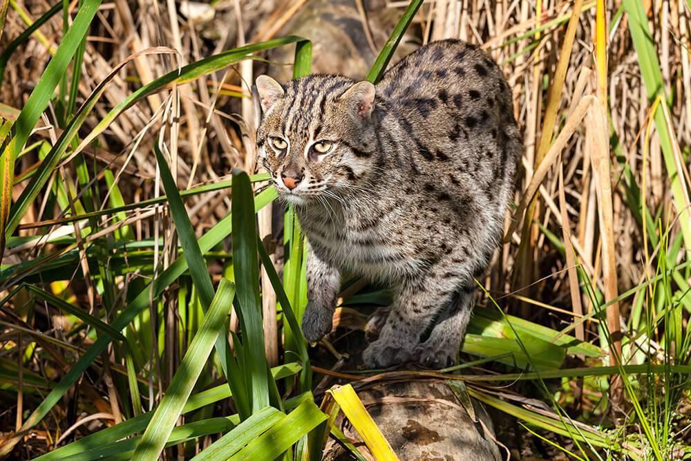 圖為漁貓,其趾間半蹼有助在半水生環境生存。 圖/取自sandiegozoo