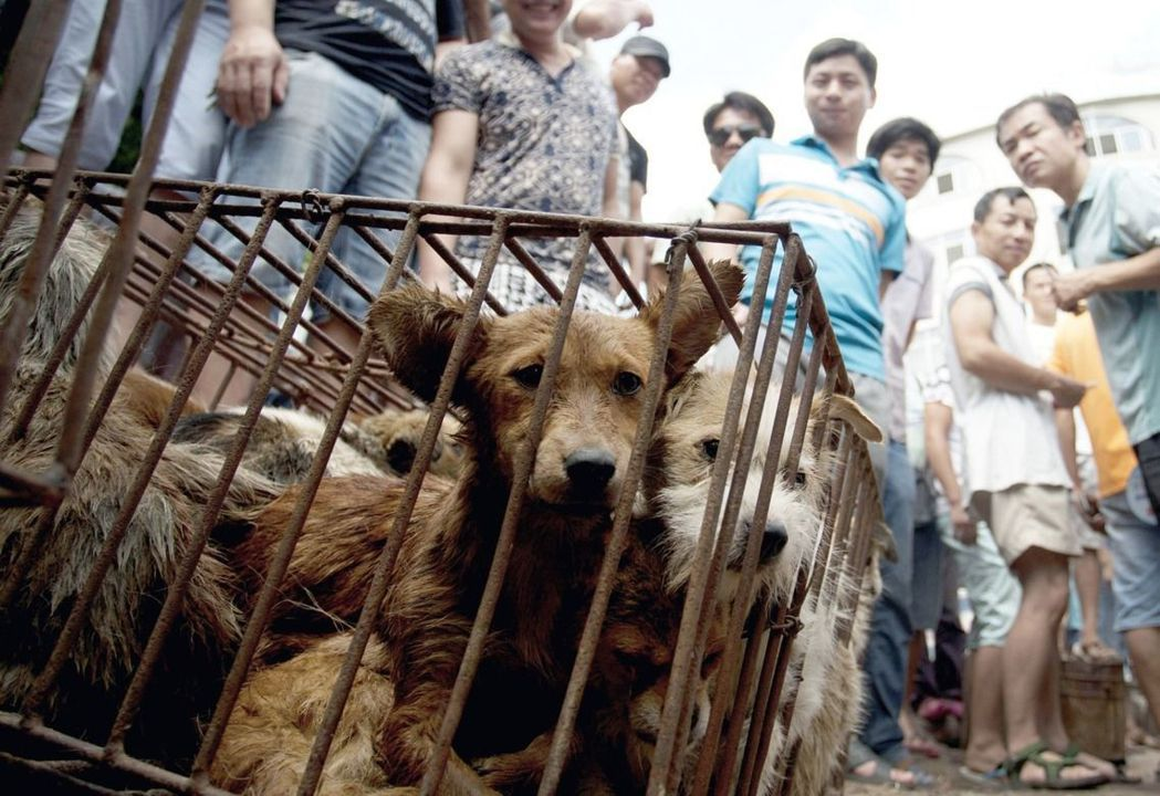 受到國際動保組織高度關注的中國玉林狗肉節活動,許多團體都是以「文明人不吃貓狗」為訴求。 圖/美聯社