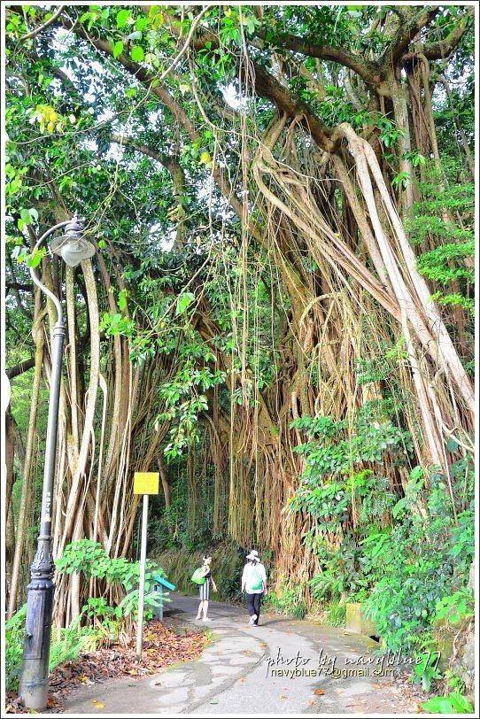 ↑印度橡樹以鬚根造成一座拱門。