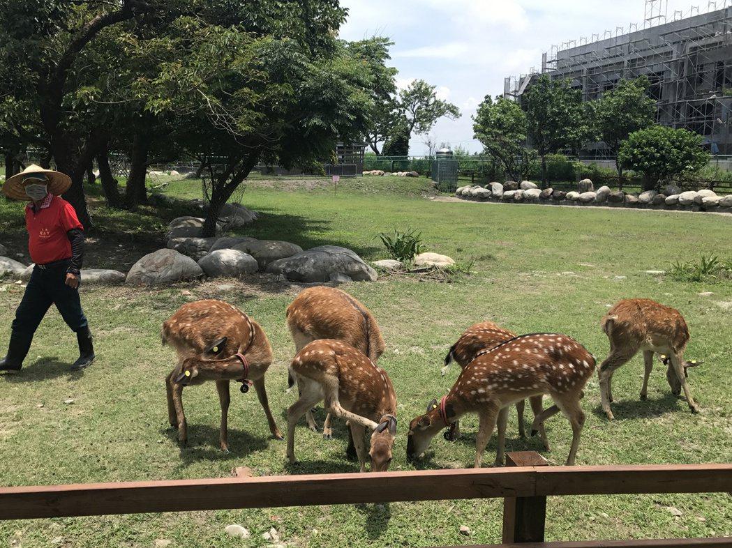 為了讓鹿港鎮名副其實,鎮公所去年10月間引進6隻梅花鹿,要打造能與親子互動的鹿公...