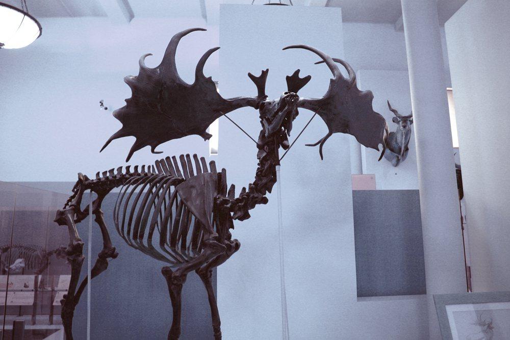 愛爾蘭鹿的巨角是因為性擇機制而產生的誇大變異結果,也是在環境的天擇機制下受性擇影...