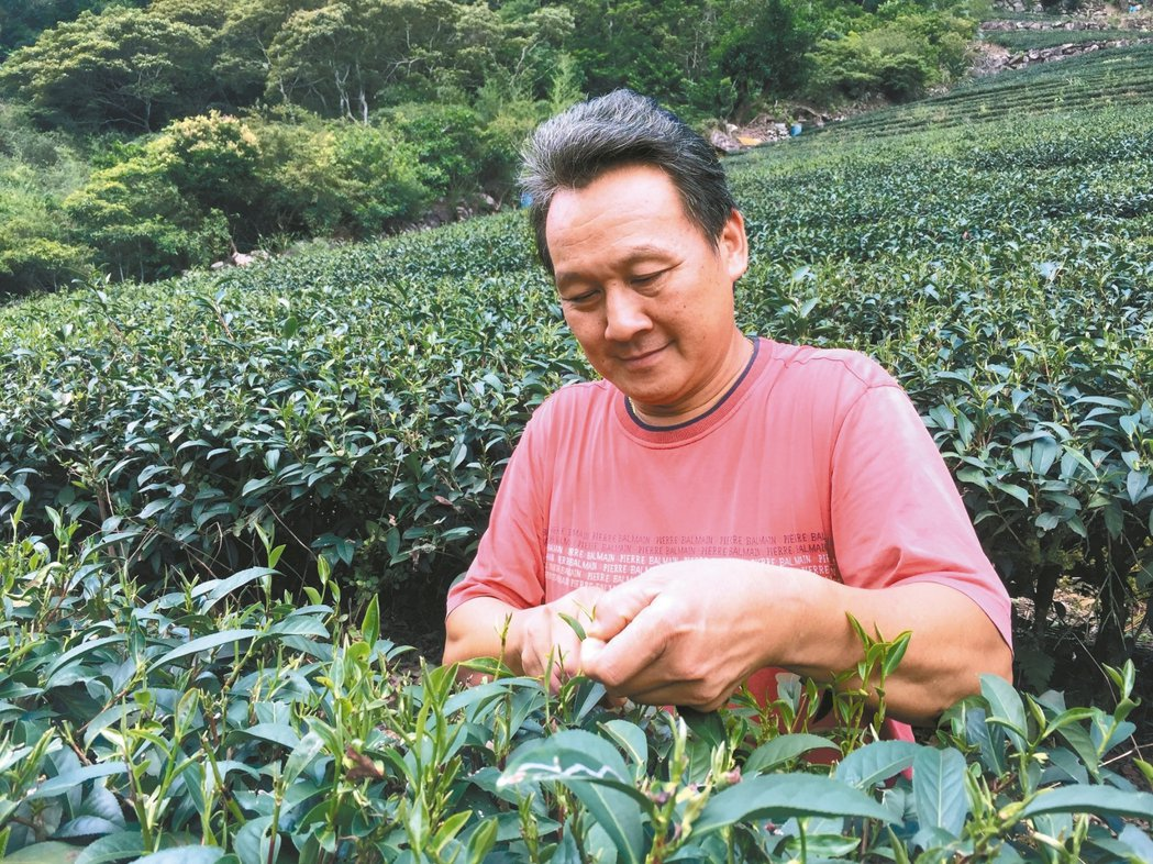 製茶逾30年 蘇文松奪新北雙茶冠軍