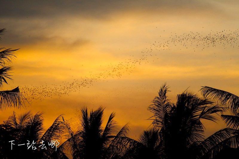 綿延不絕的蝙蝠飛出。 攝影/賴勳毅