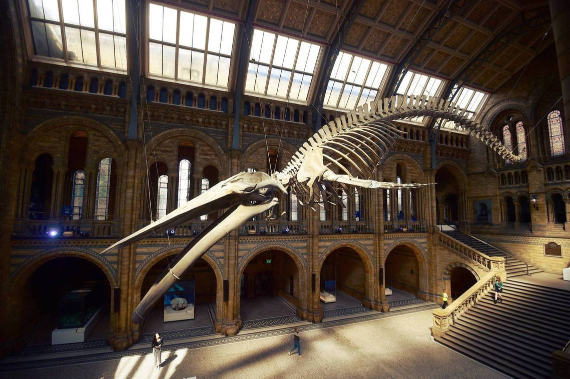 自然歷史博物館的新明星。 圖/路透社