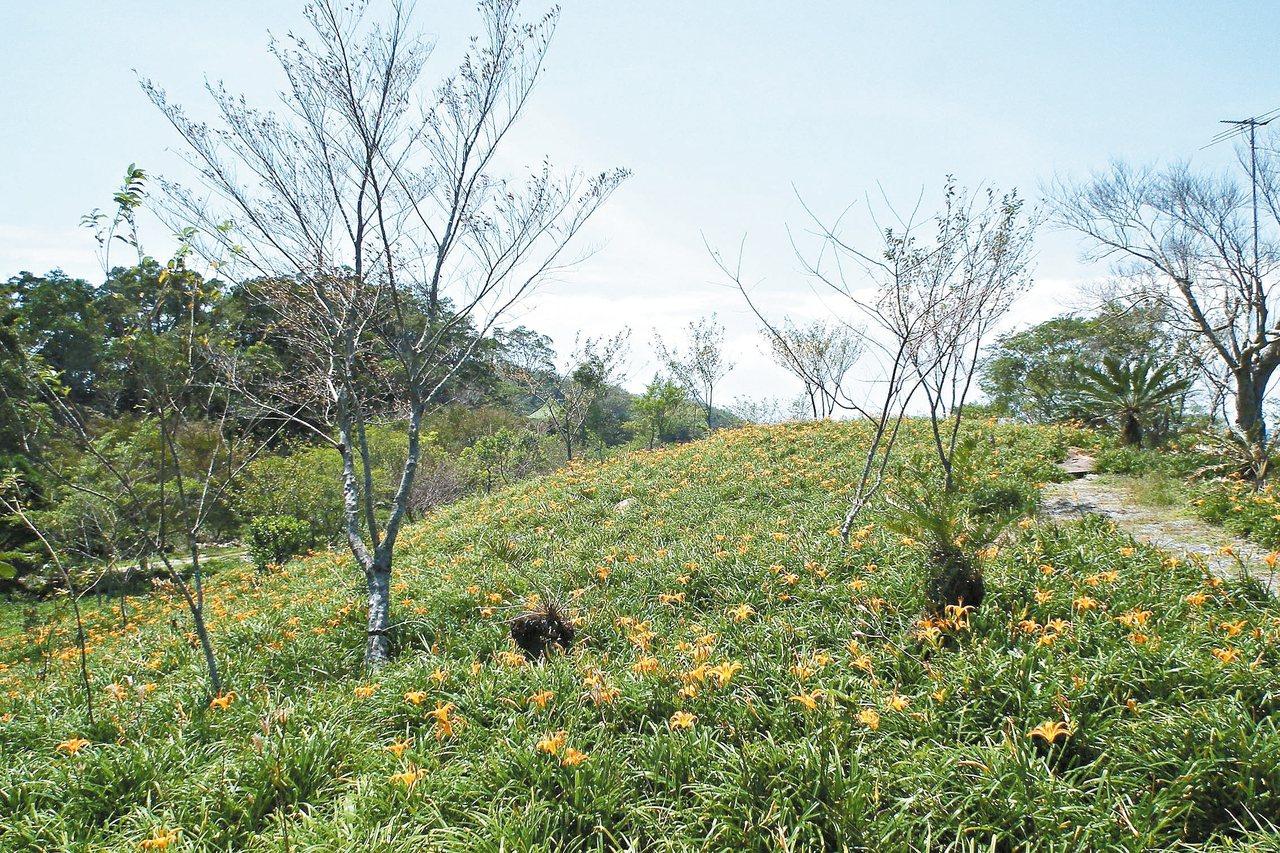 台東縣太麻里鄉「金針花季」22日登場,山區金針花已陸續綻放。 記者尤聰光/攝影