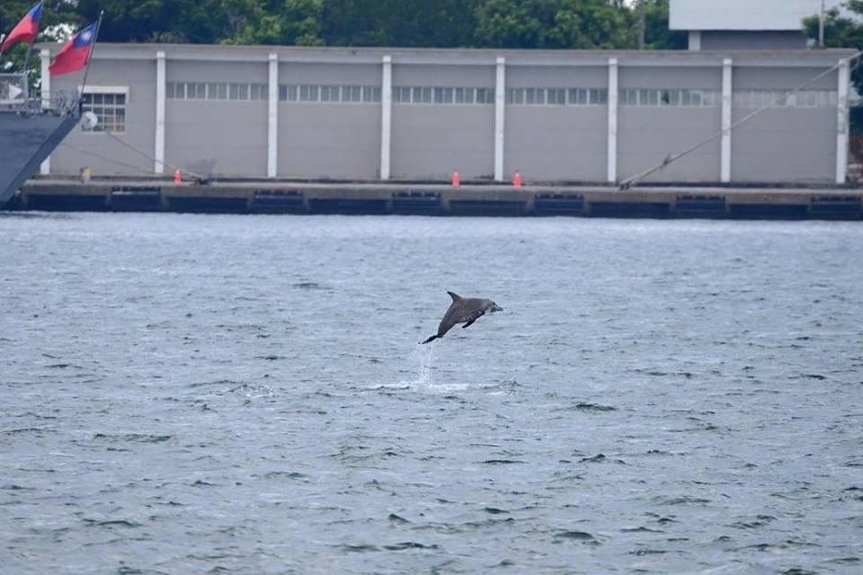 一隻海豚迷航遊至高雄左營軍港,在軍艦前躍出海面。圖/黃豐炘提供