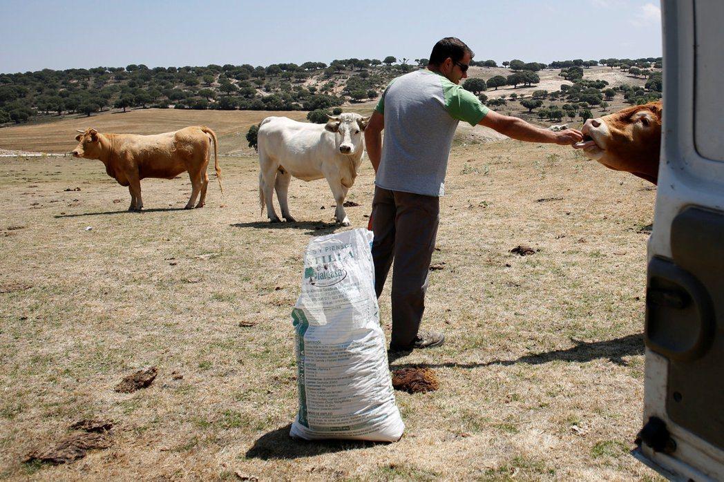 酪農桑齊士10日餵他的牛吃草。當地正遭到旱象和熱浪侵襲。 (路透)