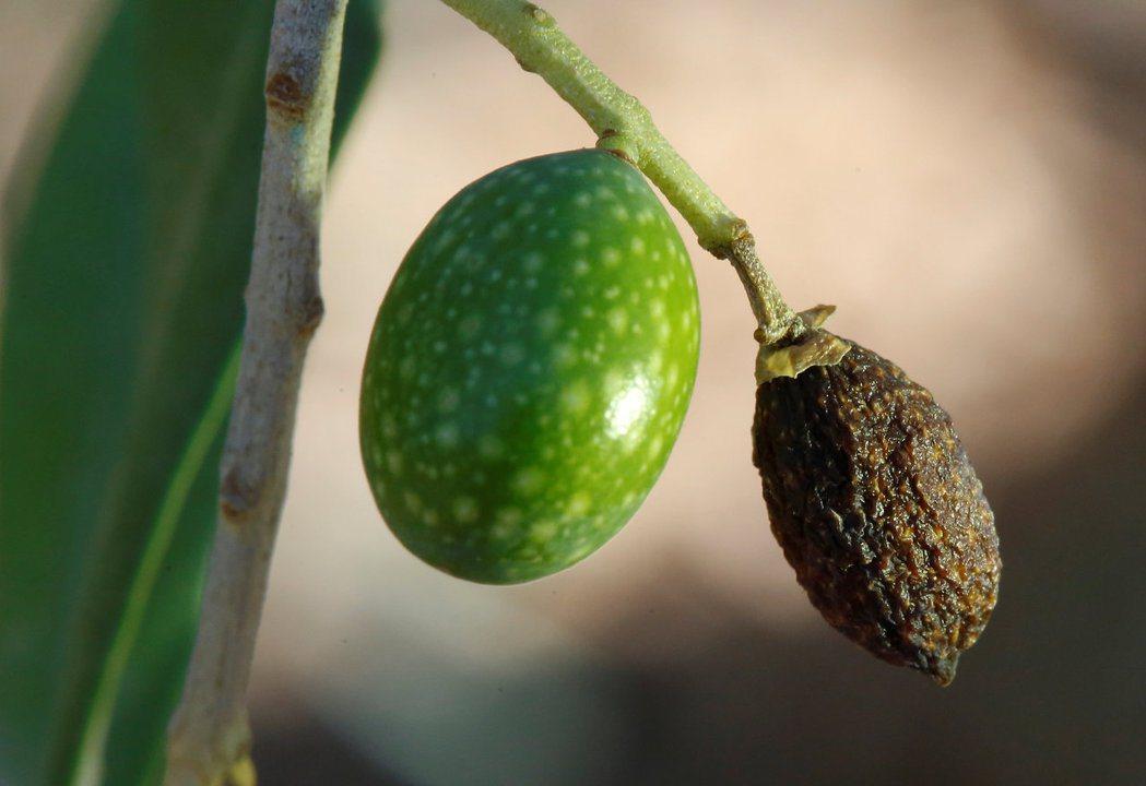 義大利阿梅利亞的橄欖園受旱象影響,有的橄欖已枯死。 (路透)