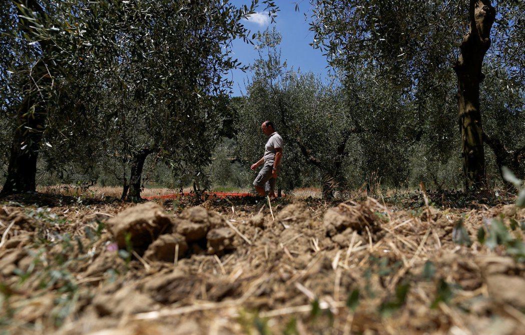 義大利阿梅利亞的橄欖農蘇阿托尼巡視他的橄欖園。 (路透)