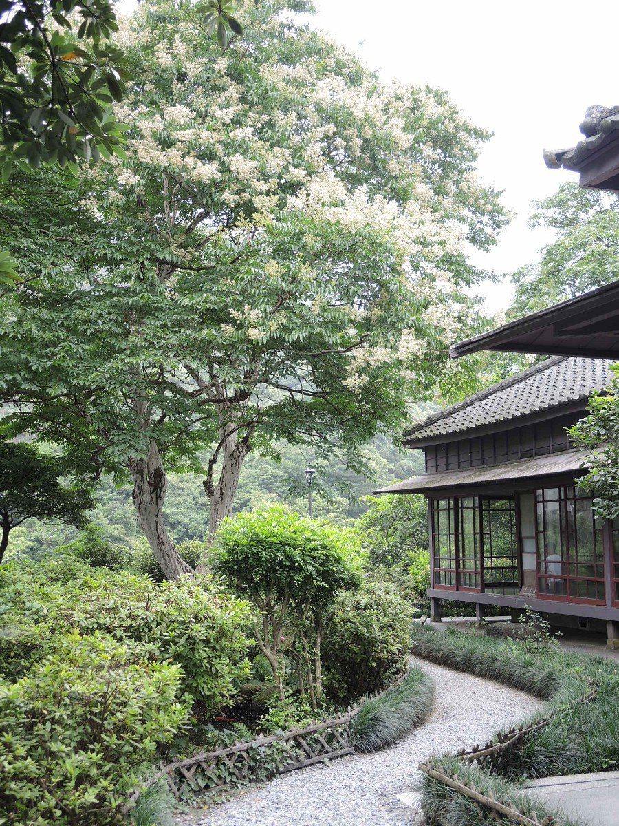 黃金博物館九芎樹已近百歲,白皙細小的花瓣,有如細雪紛飛的景象,歡迎大家一起來賞景...
