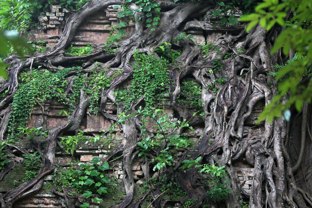 柬埔寨三波坡雷古寺廟區本月初列名聯合國教科文組織的世界文化遺產,圖為當地被樹根纏...