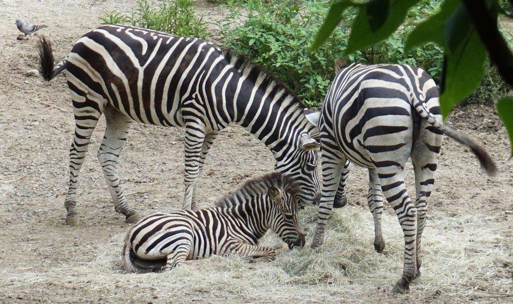 「芳文」目前仍然以媽媽的母奶為主食,但會將狼尾草或百慕達乾草等食材在口中慢慢咀嚼...