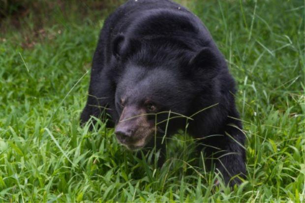越南今天同意自全國各地非法養殖場救出逾1000頭熊。圖擷自THE STAR ...