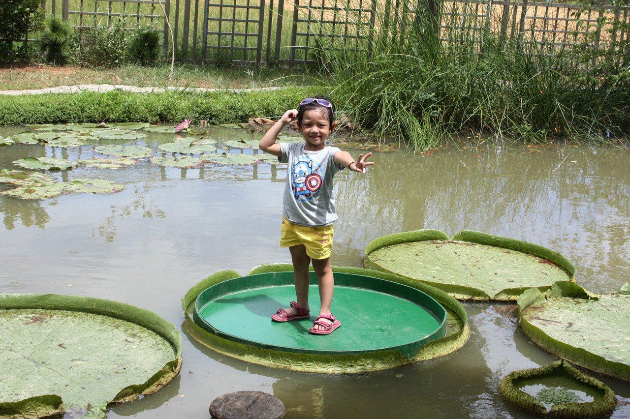 觀音區蓮荷園休閒農場,栽植朵朵的大王蓮躺在池中如同大大圓盤,吸引親子、情侶或站、...