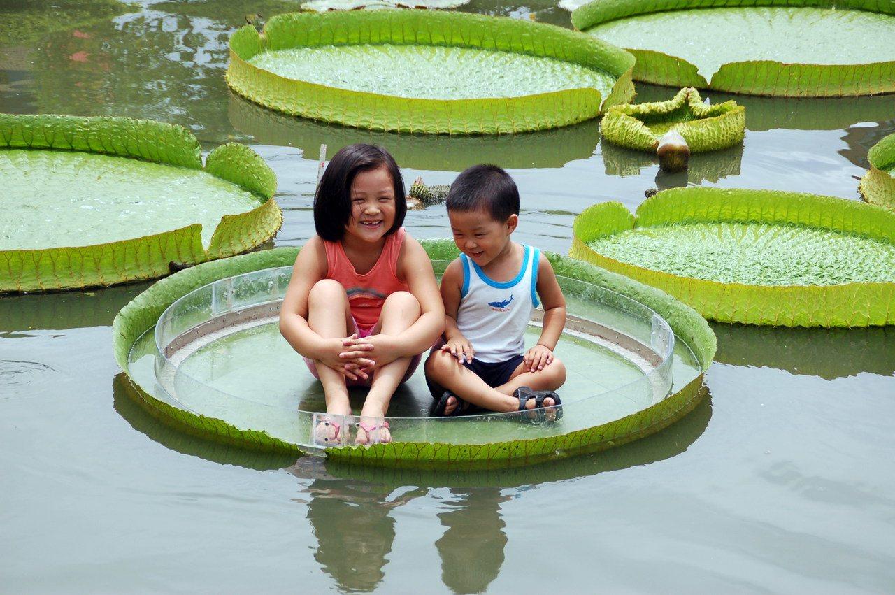 白河大王蓮葉可載重86公斤,兩姊弟坐在蓮葉浮在水面上,又驚又喜。記者邵心杰/攝影