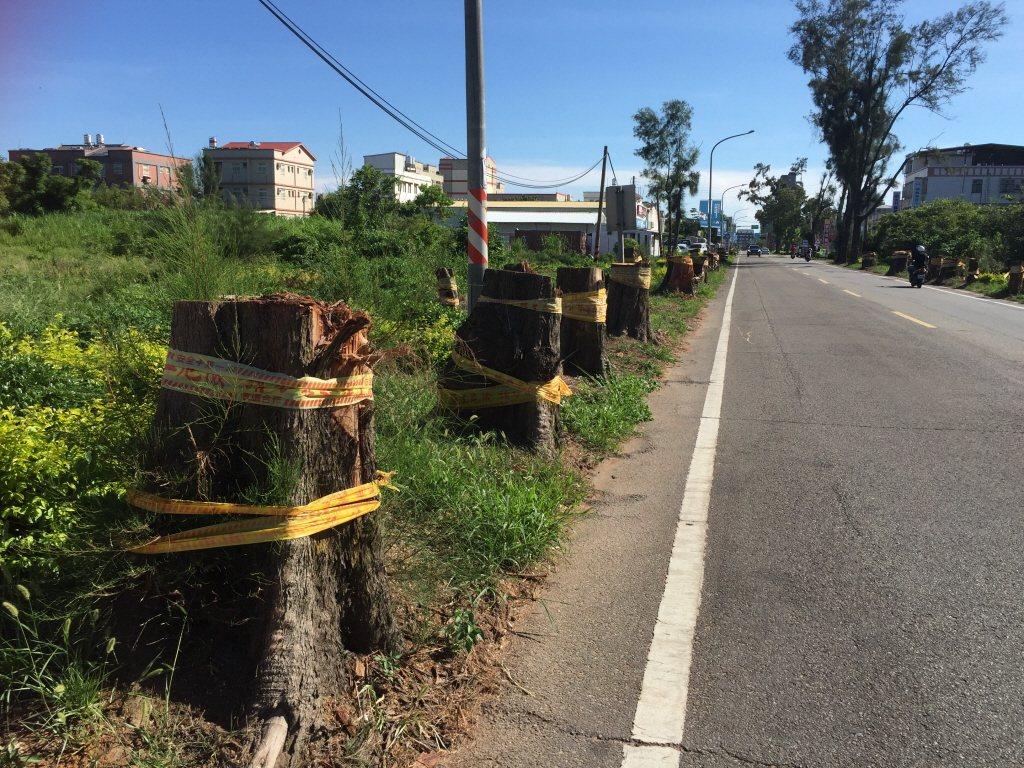 議員質疑縣政府砍掉木麻黃的決定——木麻黃不是普通的樹,那是保護金門於砲火之中的樹...