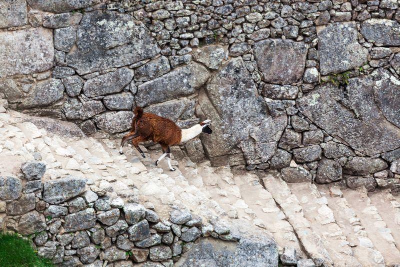 羊駝為安地斯山脈特有動物,在古城中時常能看見其蹤跡。(Photo│123RF)