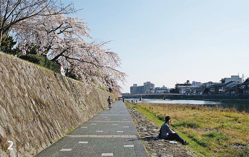 櫻花季的鴨川河畔