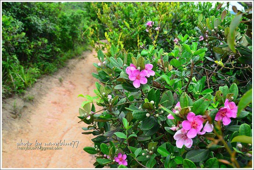 ↑五月就開的桃金孃,為龍脊步道增色。