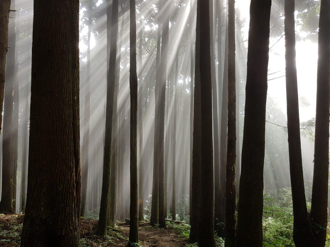 加里山柳杉林山嵐一起有如迷霧森林,陽光斜射林霧間更有如仙境般的夢幻。記者黃瑞典/...