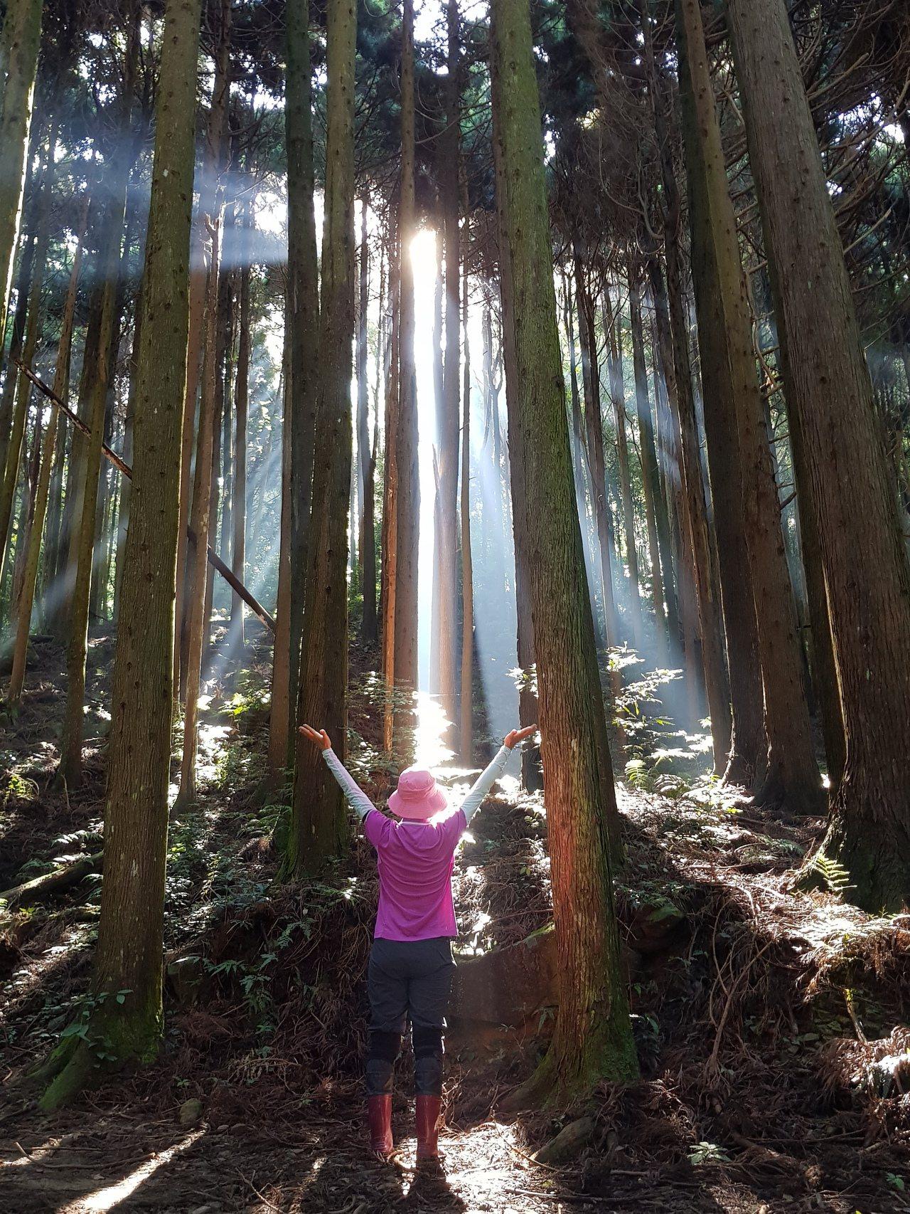 晨間陽光從柳杉林射入,又是不同的意境。記者黃瑞典/攝影