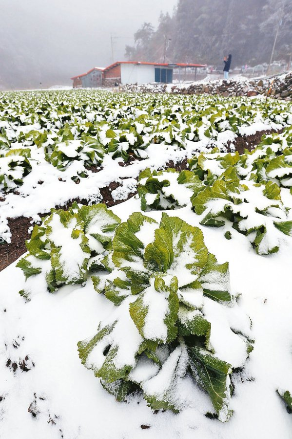 去年寒害凍傷高山菜園。 本報資料照