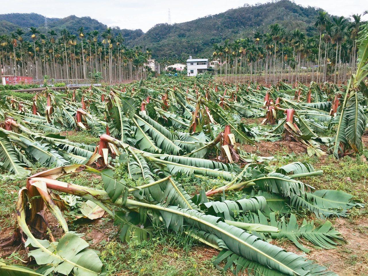 去年強颱過境,蕉農損失慘重。 本報資料照