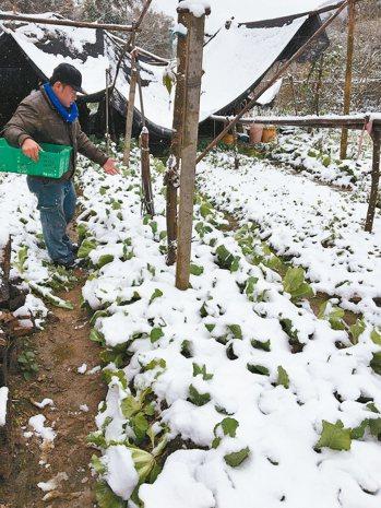 去年一月霸王級寒流來襲,海拔僅七百多公尺的苗栗南庄向天湖栽種的高冷蔬菜都覆蓋一層...