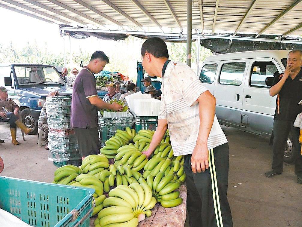 企業購買香蕉助農,多數蕉農認同,但有些年輕蕉農擔憂企業的善意反而會扼殺產業發展。...