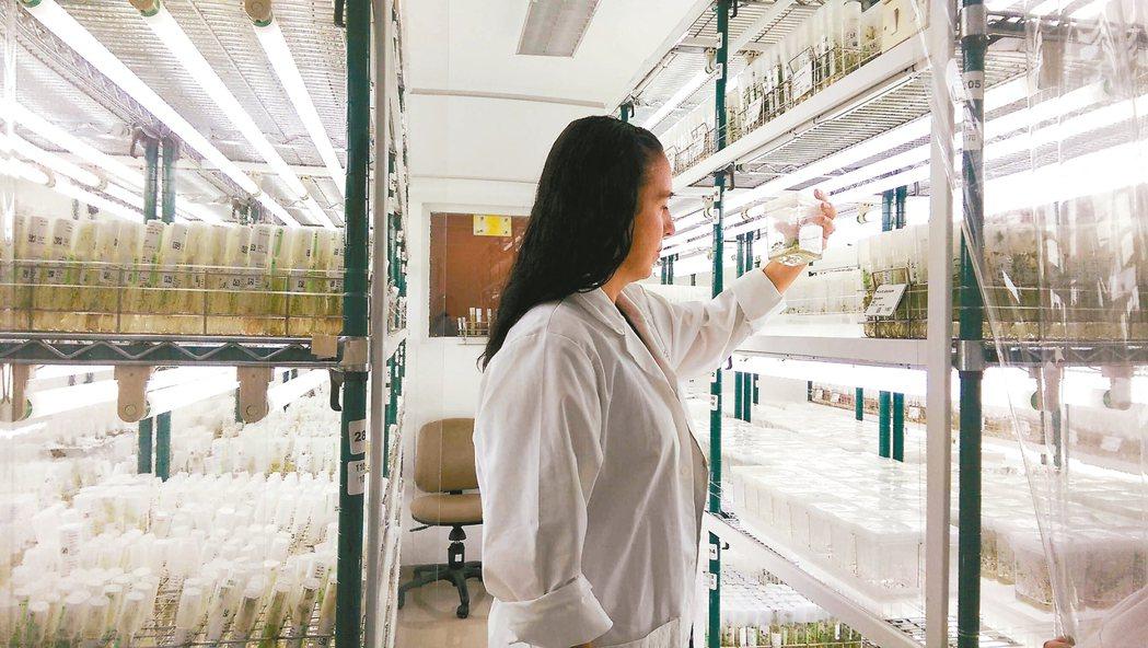 科學家與農民合力找出適應極端氣候的新馬鈴薯品種。 記者董俞佳/攝影
